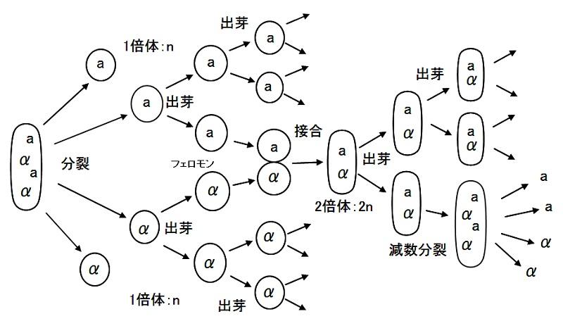 酵母サイクル
